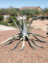 The Agave plant.