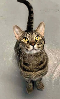 Jax was left outside the shelter after business hours in a box with a note, explaining he was urinating blood and they could not afford to help him. The shelter staff determined he had a urinary blockage that required surgery. After successful treatment, he has recovered and has been adopted!